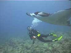 Manta rays were a common sighting in Maui.