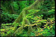 Olympic Rain Forest